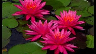 waterlily plantation   tutorial video learn how to plant waterlily plant in pot