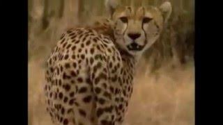 Большие кошки. Львы, гепарды, леопарды. Часть 2