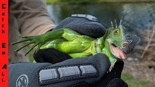 Are IGUANAS DANGEROUS? Catching Exotic Pet Reptiles