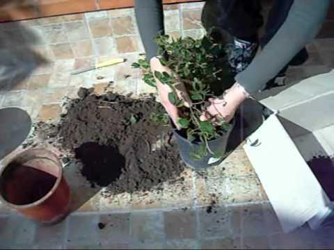 Rinvasare Piante Verdi Di Appartamento Casaegiardino It Youtube