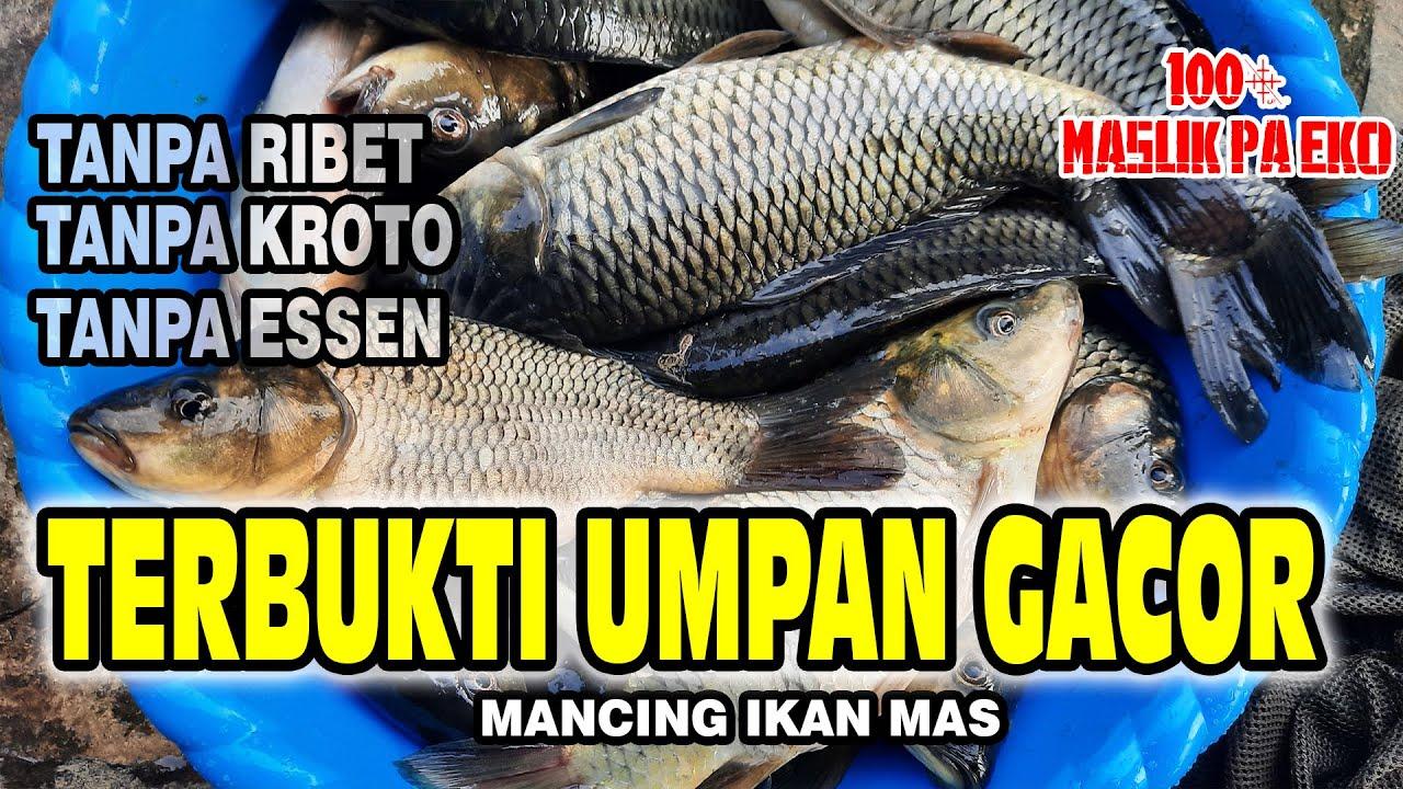Umpan Ikan Mas Paling Gacor Buat Mancing Malam Apalagi Siang Langsung Tes Youtube