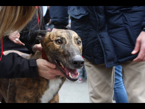29 Irish Retired Greyhound for Gaci Italy February 11 2017 movie