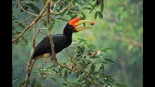 Fakta tentang Burung Enggang yang dikeramatkan