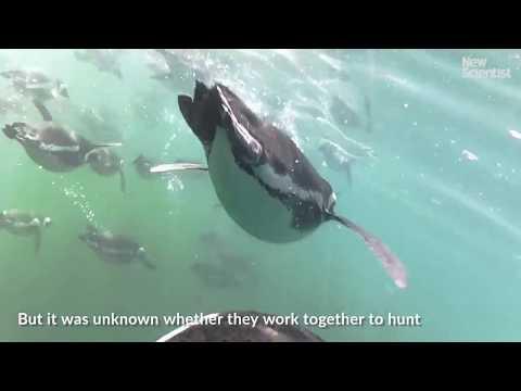 African penguins hunt fish in packs