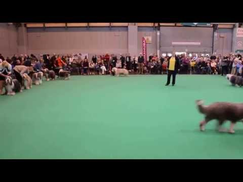 CRUFTS 2015 BEARDED COLLIE CC and Res CC DOG