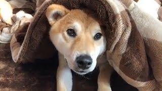 【柴犬のゴン】コタツで頭隠して尻隠さず…もう邪魔しないでよー【みんなのペット大集合】 thumbnail