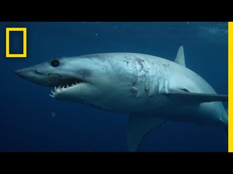 Sharks 101   National Geographic