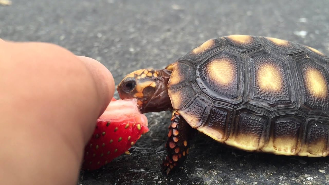 baby turtle eating a strawberry cute youtube