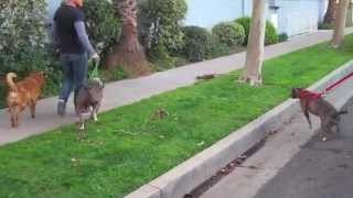 The Good Dog Minute 3/10/13: Lola! Transforming dog aggression and leash aggression in two weeks.