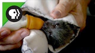 Baby Flying Fox (Fruit Bat)