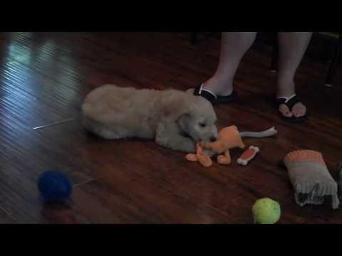 CT Goldendoodles - Goldendoodle Puppies, Goldendoodles