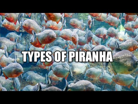 TYPES OF PIRANHA