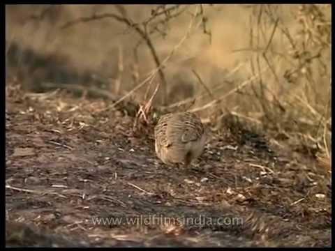 Grey Partridge and Jungle Bush Quail in grassland