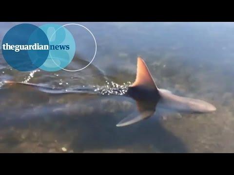 Bull shark spotted as it swims near Perth marina, Australia