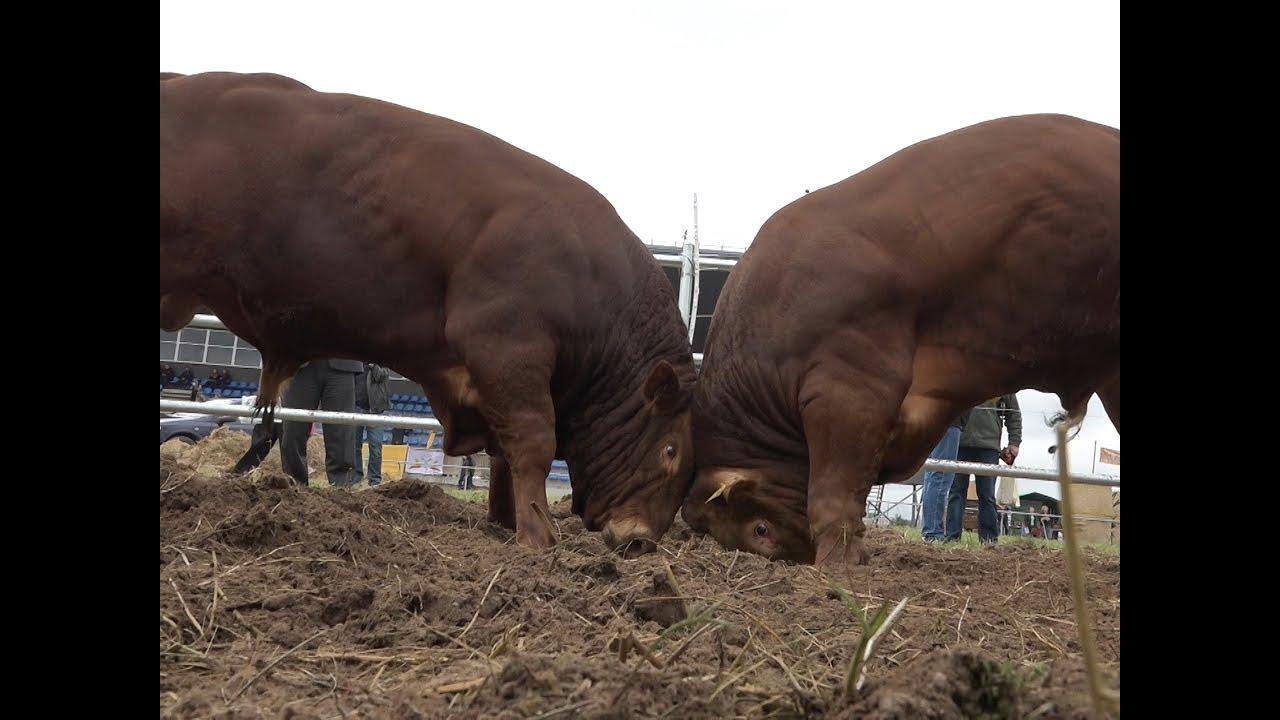 svorio netekimas bulių bulių)