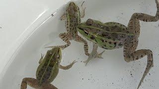 日本の綺麗なカエルを捕獲【ガサガサ】