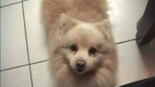 Pomeranian Dog Does Ear Trick