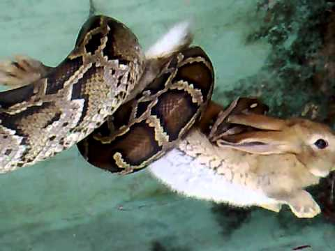 Python Eats Rabbit