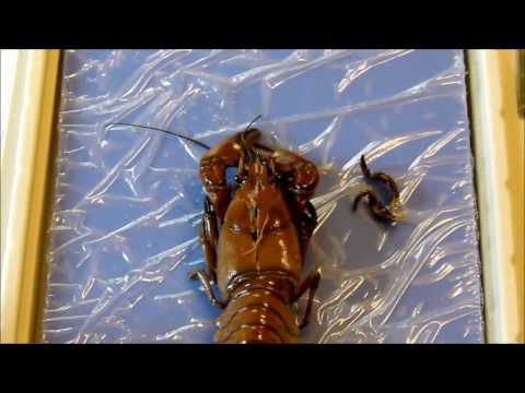Apologia Biology 12.1 Crayfish Dissection