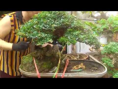 Tuyệt phẩm Cần Thăng Bonsai – Chợ Bonsai Hoàng Hoa Thám