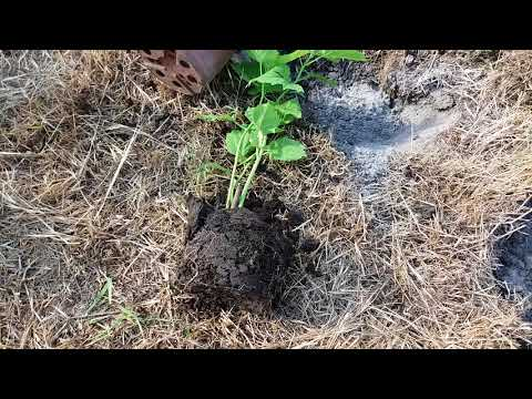 Травянистый гибискус Посадка в июне
