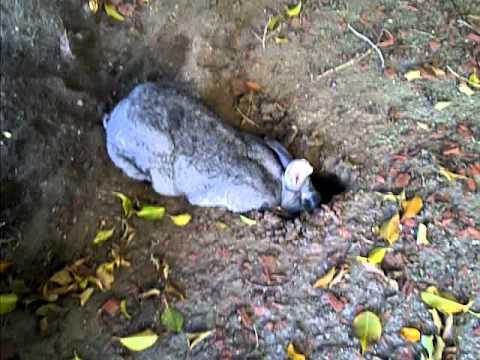 rabbit making a burrow