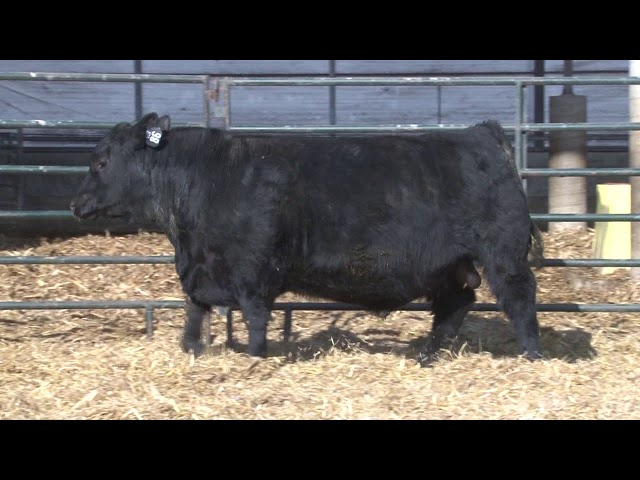 Schiefelbein Angus Farms Lot 86