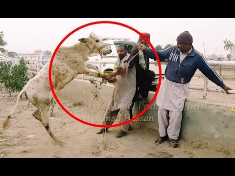 Bakra Eid 2018 - AFLATOON Cow Loading Video - Episode 1 - 17th January 2018 - Lahore Bakra Mandi