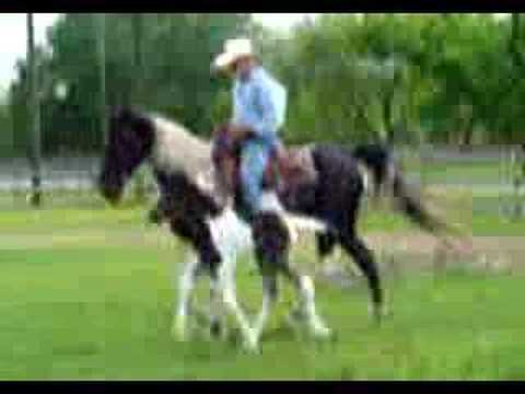 Tennessee Walking Horse gait..