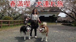 シベリアンハスキー犬達を連れて千葉県館山保田漁港への旅 暖かくなり桜...