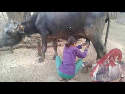 Gujarat how to get 12 years girl milk