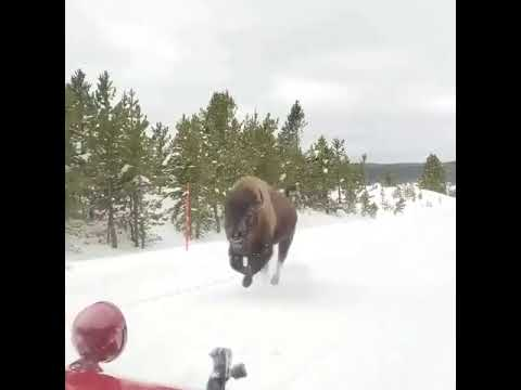 Check this american bison, charging in Yellowstone