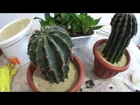 Вопрос: Правда ли что растение Алое – Кактус Алое относится к роду кактусовых?