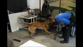 Rescue Dog K9 Explosive Detection Dog Training