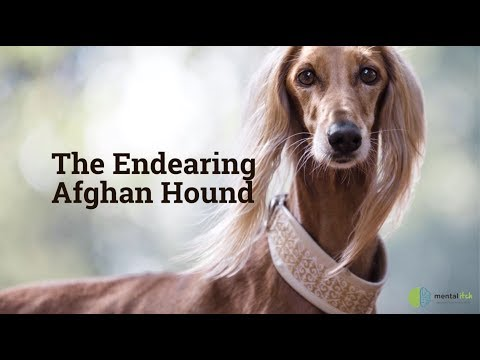The Endearing Afghan Hound