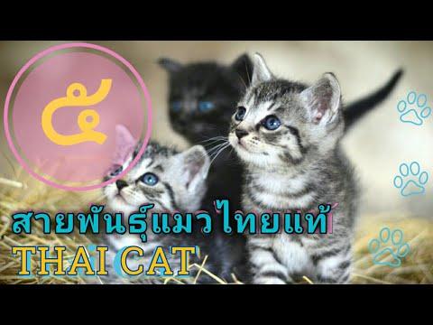 5 สายพันธุ์แมวไทยแท้ Thai Cats