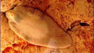 Fasciola hepatica - common liver fluke - motylica wątrobowa