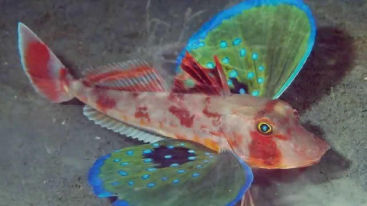 Los 10 peces mas extra os del mundo 10 weirdest fish in - Los peces mas bonitos del mundo ...