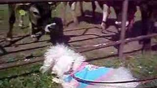 The Sealyham terrier meets Jersey cow in Japan 2007.
