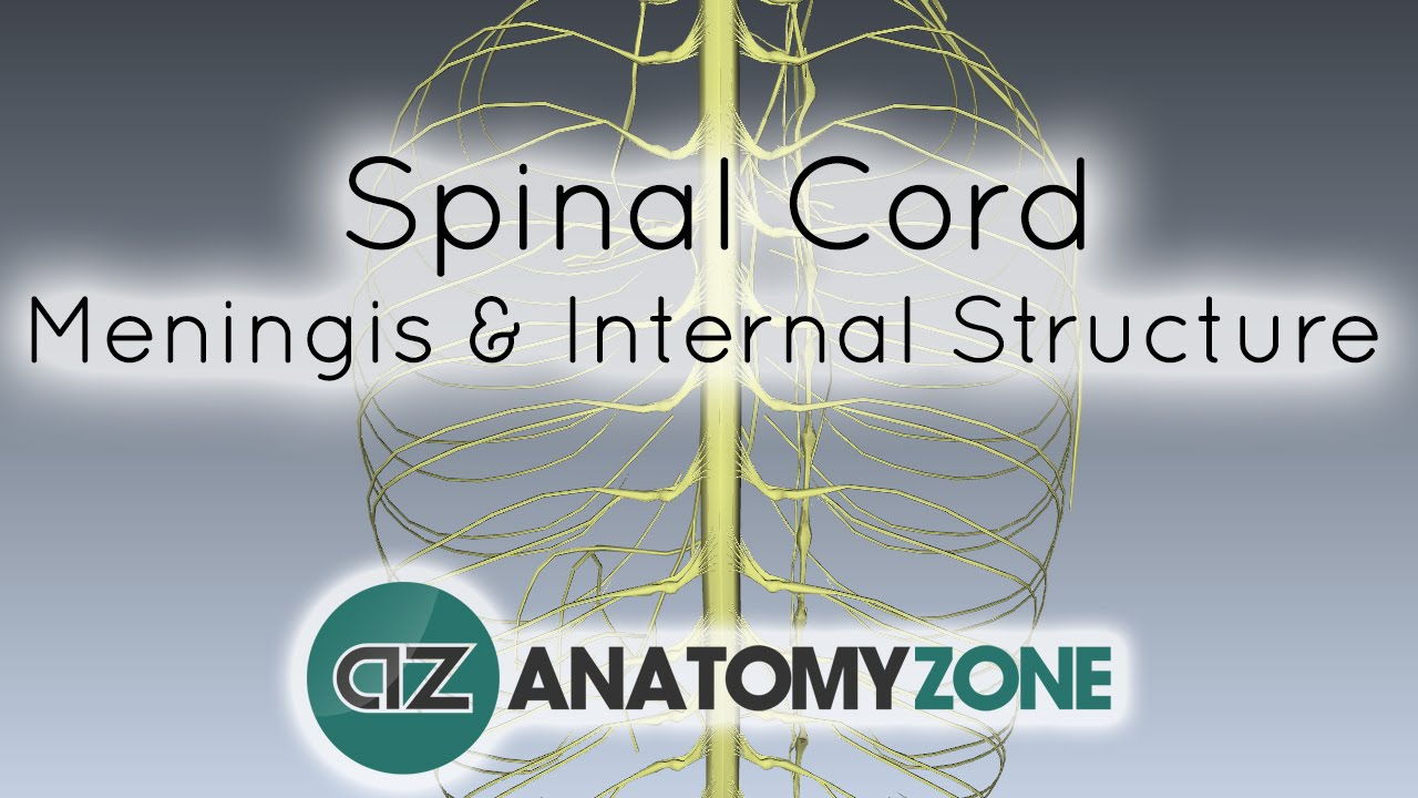 Spinal Cord Meninges And Internal Structure Anatomy Tutorial