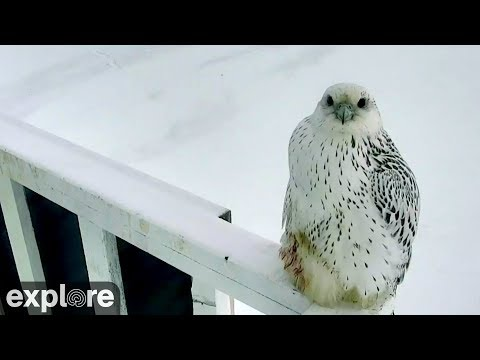 Rare Sighting - Gyrfalcon on Polar Bear Cam