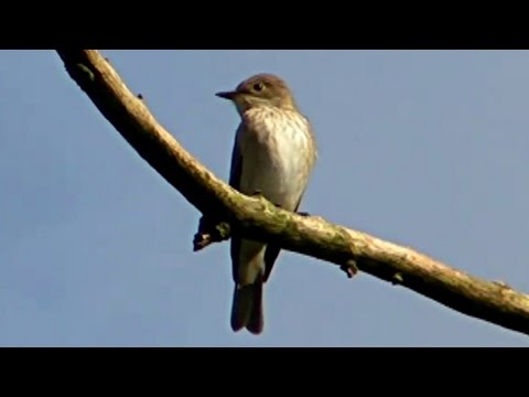 Spotted Flycatcher in My Garden in Cornwall