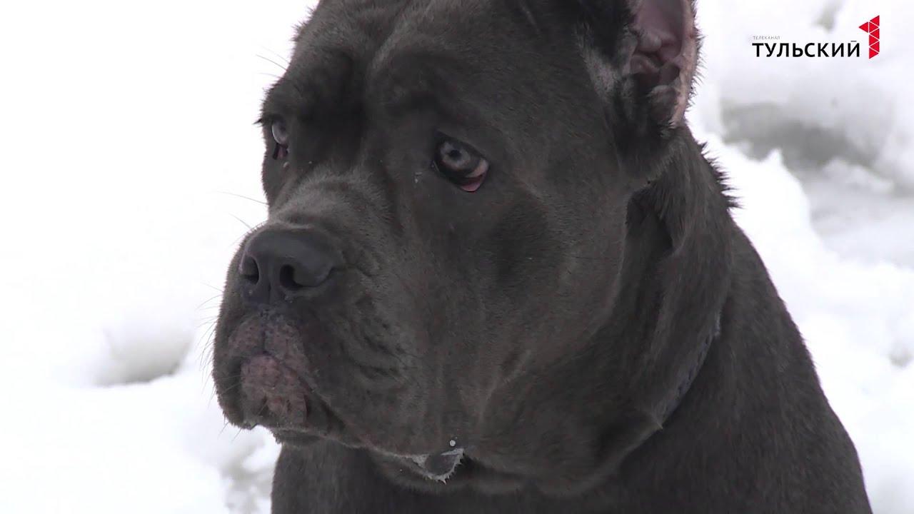 порода собак кане корсо видео