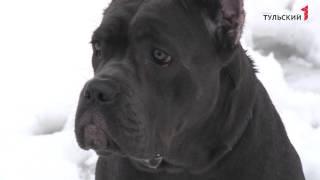 Собаки Кане-Корсо
