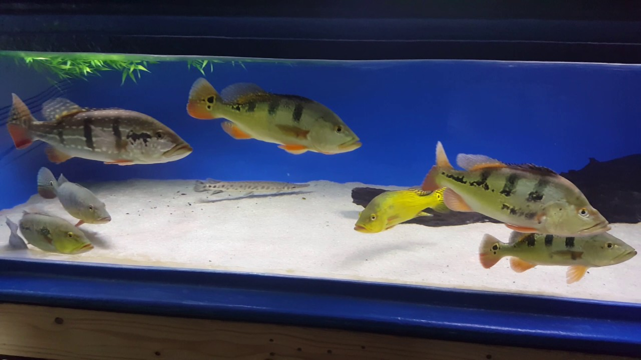 270 gallon peacock bass fish tank youtube for Bass fish tank