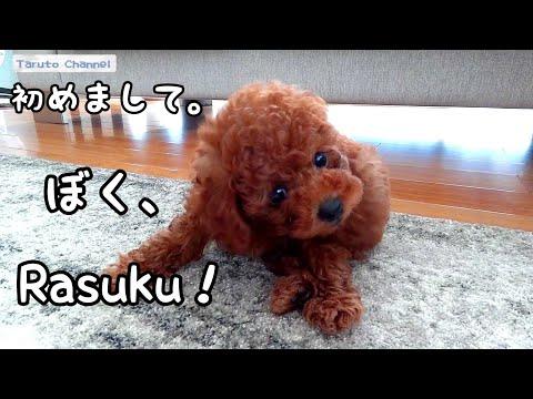 我が家にRasuku(ラスク)がやってきた!!トイプードルのTaruto&Rasuku