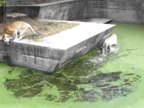 Ataque Tigre a pavo zoo madrid 2010.AVI