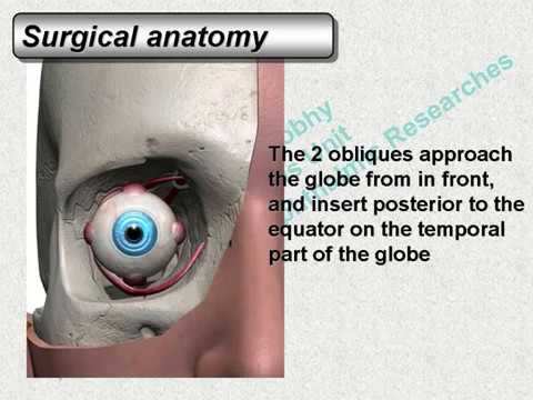 Strabismus Course 1 Anatomy / www.hawal-eg.com - YouTube