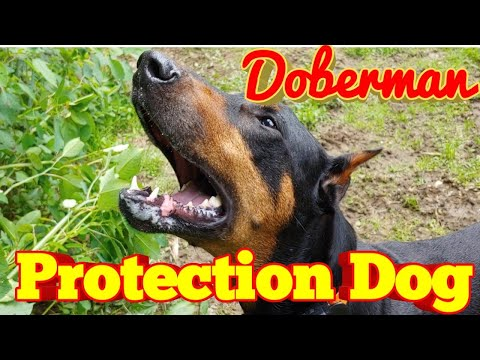 Are Doberman Pinschers good Protection Dogs?