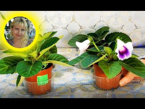 🌹🌹🌹 Глоксиния из семян, полный цикл выращивания